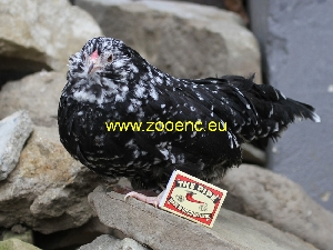 photo Antwerp Belgian Bearded chicken, hen