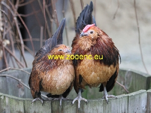 photo Antwerp Belgian Bearded chicken, breeding pair 1,1