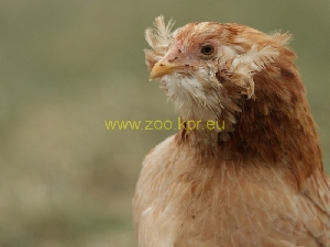 photo Araucana, poule