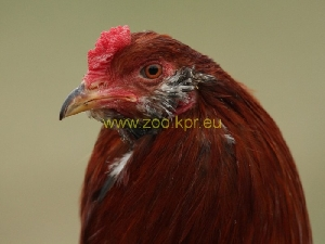 photo Araucana, rooster