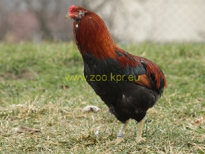 foto Gallina araucana, gallo