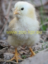 photo Araucana, chicken