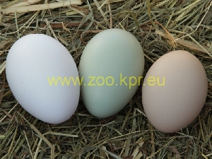 photo Araucana, egg