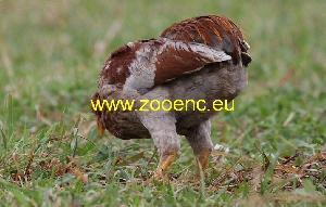 photo Araucana naine, coq