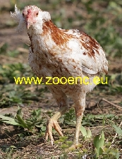 photo Araucana Bantam, hen