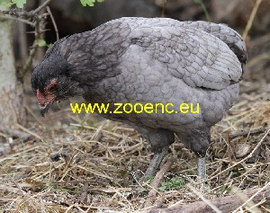 photo Araucana Bantam, rooster