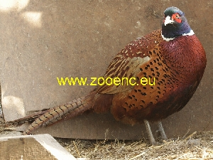 photo Common Pheasant