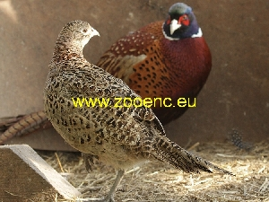 photo Common Pheasant, breeding pair 1,1