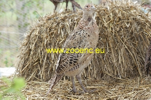 photo Common Pheasant, hen