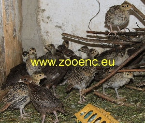 photo Common Pheasant, chicken