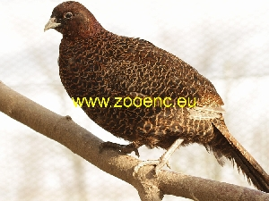 photo Tenebrosus Pheasant, hen