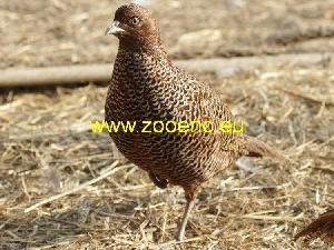 слика Тенеброзус фазан, женка фазана