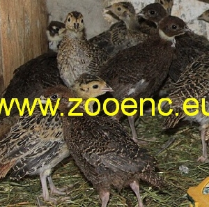 photo Tenebrosus Pheasant, chicken