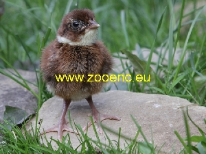 слика Тенеброзус фазан, фазанче