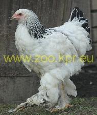 poule brahma kosovo