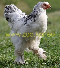 photo Brahma, rooster