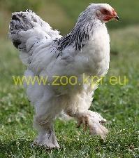 φωτογραφία Μπράχμα κότα, πετεινός