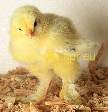 φωτογραφία Μπράχμα κότα, κοτόπουλο
