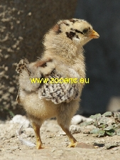 photo Czech Gold Brindled Hen, chicken