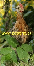 photo Czech Gold Brindled Hen, chicken - rooster