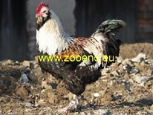 사진 독일 파베롤 닭, 수탉