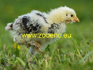 photo German Faverolles, chicken