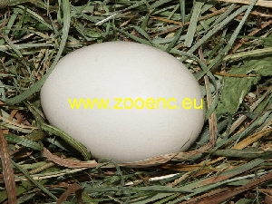 photo German Faverolles, egg