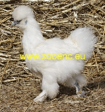photo Silkie, hen