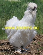 photo Silkie, rooster