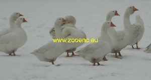 photo African Goose, white
