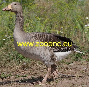 photo Greylag Goose