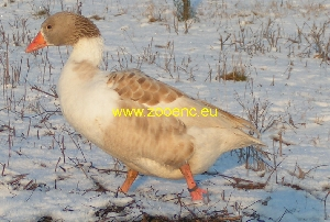 photo Faroese Goose, gander