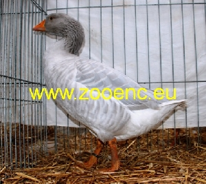 photo Franconian Goose, blue