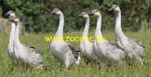 photo Chinese Goose