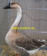 Chinese Goose, brown
