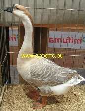 Chinese Goose, buff
