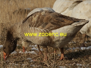 photo Suchovy Goose, goose