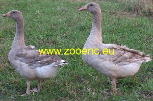 photo Suchovy Goose, breeding pair 1,1