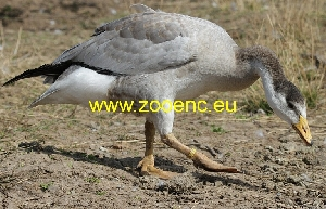 photo Bar-headed Goose, gosling - gander