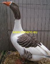 photo Twente Landrace Goose