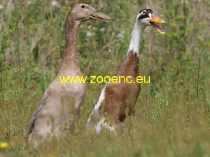 photo Indian Runner Duck