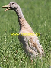 photo Indian Runner Duck, drake