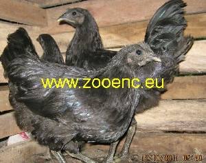 photo Kadaknath chicken, hen