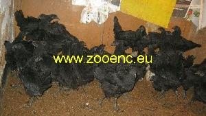фото Индийская чёрная курица, цыплёнок