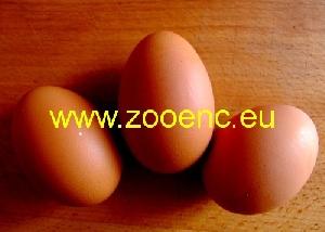 фото Индийская чёрная курица, яйцо