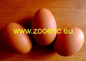 fotoğraf Kadaknath Tavuğu, yumurtalar