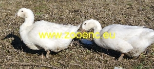 photo Aylesbury Duck, breeding pair 1,1