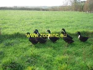 photo Shetland Duck