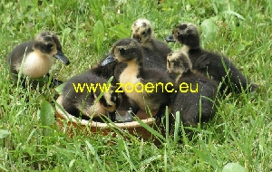 photo Shetland Duck, duckling