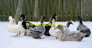 photo Swedish Blue Duck